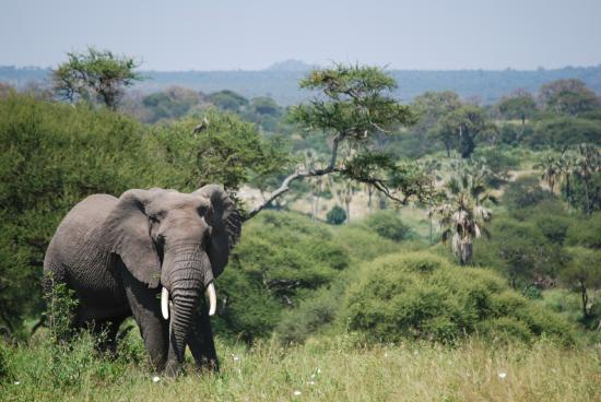 Meru Mountain Treks and Safaris Ltd - Day Tours : Tarangire National Park elephant