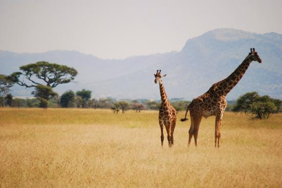 Meru Mountain Treks and Safaris Ltd - Day Tours : Giraffes of the Serengeti