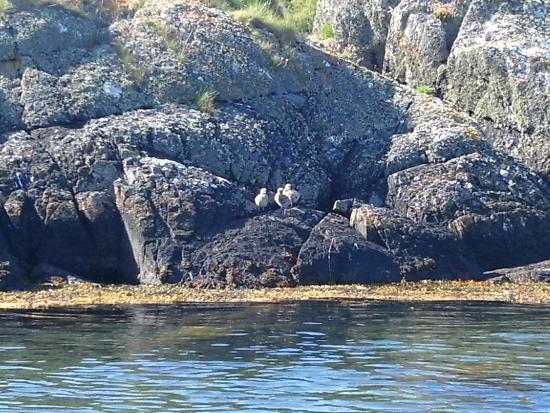 Kayak Wild Islay: Herring gull chicks