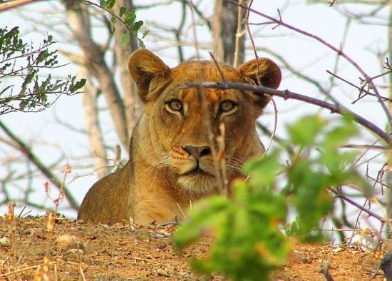 Gache Gache Lodge: lions 2km from the lodge!
