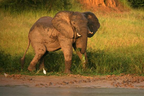 Gache Gache Lodge : Elephant in the sunset on the banks of the river