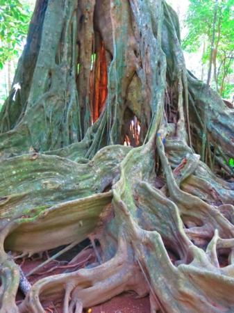 Christmas Island National Park: Love this tree - sublime