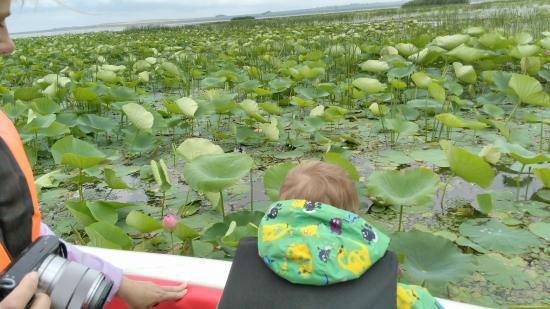 Lotus Valley: Долина лотосов в июне напоминает болото с кувшинками