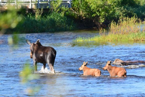 Image result for yampa river moose