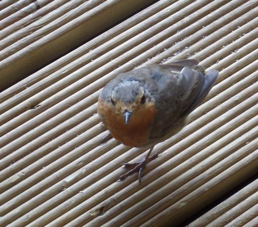 Horner Tea Garden's very friendly Robin.