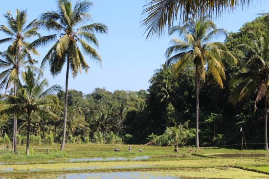 Buleleng, Indonesia: Coqueiros e arroz