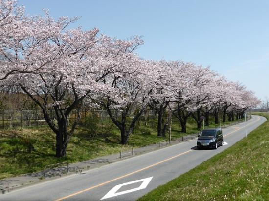 Fuchunomori Park: 外周の桜