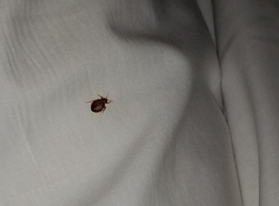One Of The Big Bed Bugs Under The Sheets On My Children S Bed