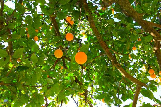 Addo, Sudáfrica: Orange trees for freshly squeezed juice in Winter