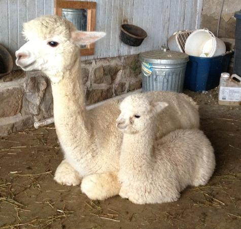 Painted Spring Farm Alpacas