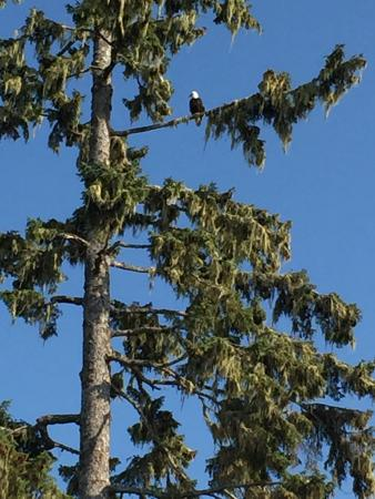 Cluxewe Resort : Bald eagle in a tree by our cabin.