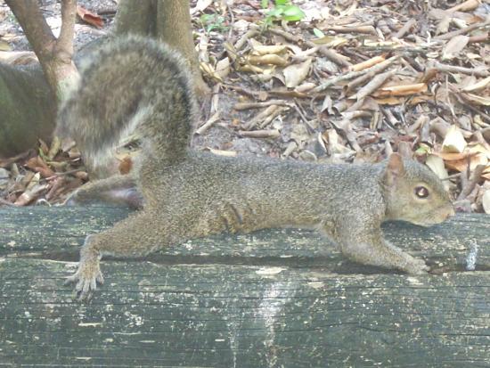 Enchanted Forest Elaine Gordon Park: Gray Squirrel Stretching
