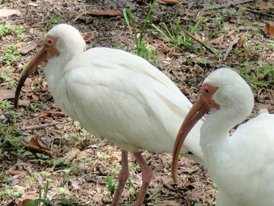 Enchanted Forest Elaine Gordon Park: White Ibis