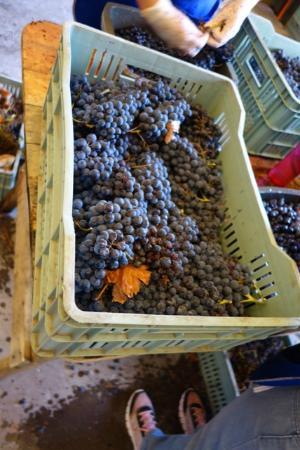 Uvas chegando na mesa de seleção