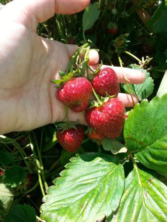 Graysmarsh Berry Farm: Fresh Strawberries in June/July!