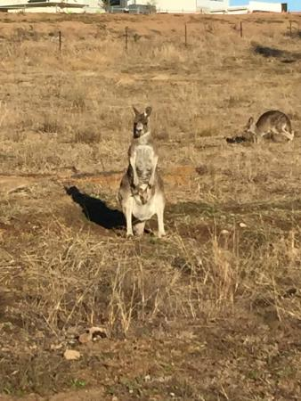Stromlo Forest Park: Kangaroo and Joey watching us.
