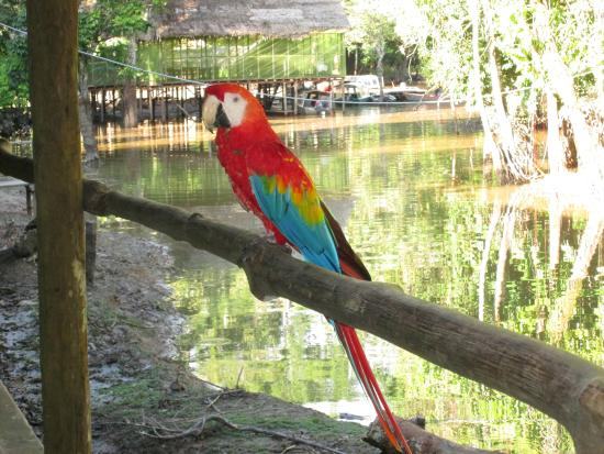 Amazon Explorama Lodges: Resident Mackaw