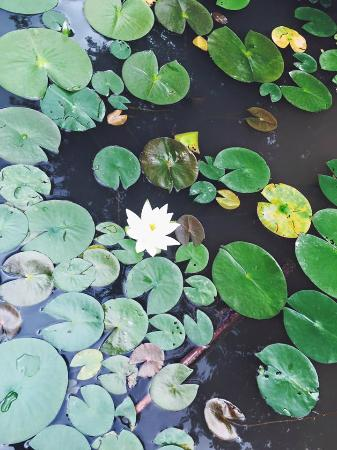 Belmont, Нью-Йорк: The beautiful lily pads