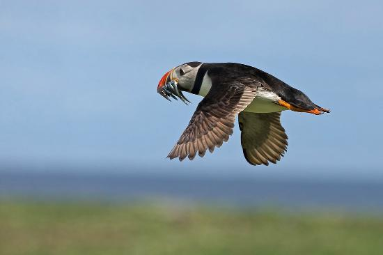 Links Hotel : Puffin flight