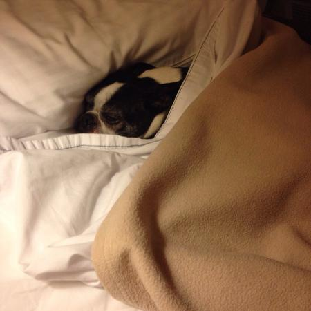 AmericInn Lodge & Suites Calumet: Remy the Boston Terrier approves of their pet policy.