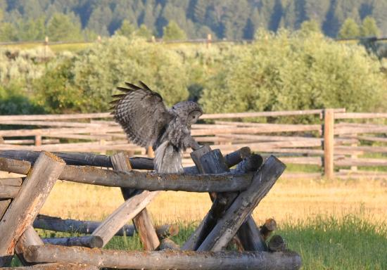 R Lazy S Ranch: The friendly ranch Great Grey Owl
