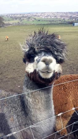 View picture of mayfield alpacas sheffield tripadvisor for Alpaca view farm cuisine