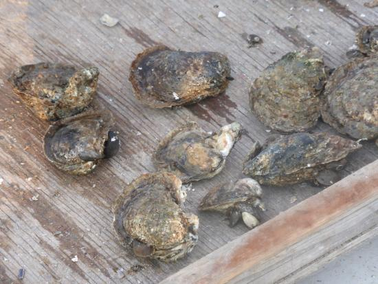 Skipjack H.M. Krentz: Oysters brought up using handheld dredge--and then released into the river