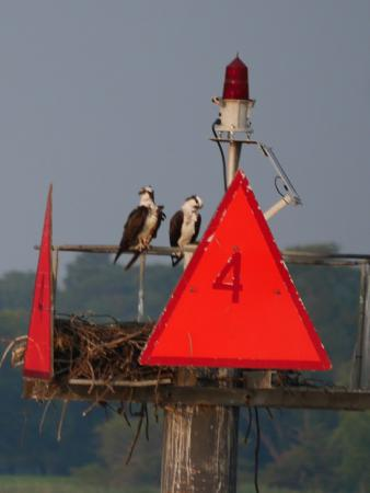 Skipjack H.M. Krentz: One of several pair of osprey in the area