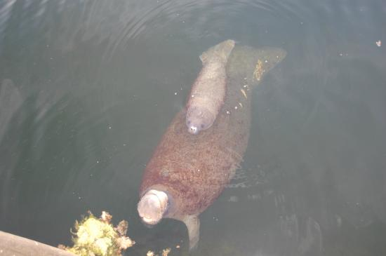 Hampton Inn Key Largo: Manatee and baby visiting