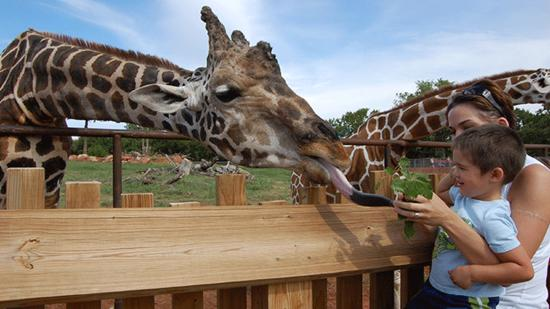 Feeding the giraffes at the Oklahoma City Zoo