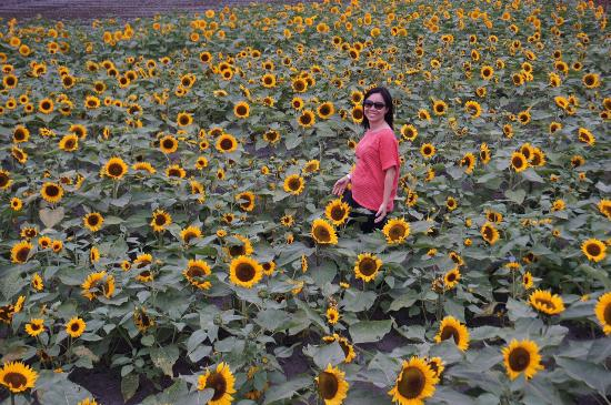 Taichung, Taiwan: Sunflower field