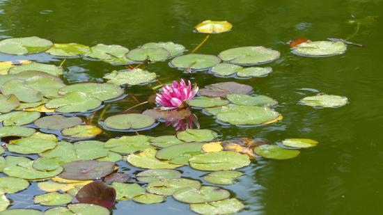 San Mateo, Καλιφόρνια: water lilies in bloom