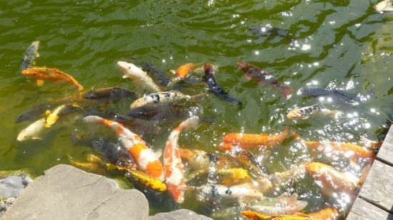 San Mateo, Καλιφόρνια: The fish are gathering for feeding