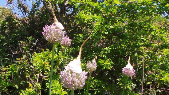 Steep Holm Island: Wild leeks