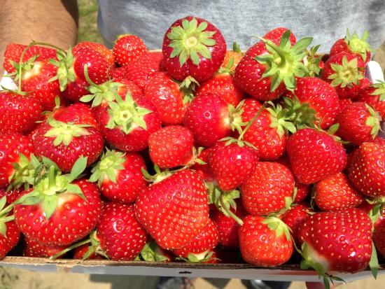 Sharon, MA: Freshly picked strawberries