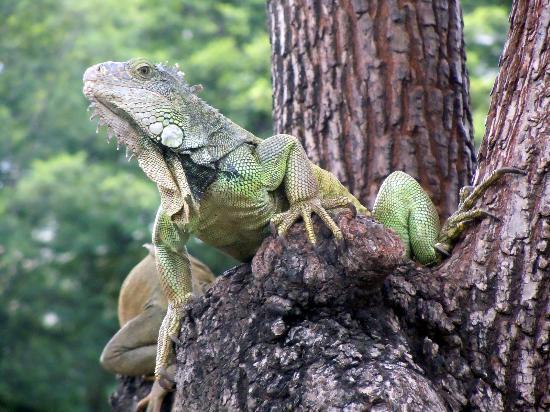 the iguana tree summary The iguana tree a novel author: michel stone set amid the perils of illegal border crossings, the iguana tree is the suspenseful saga of lilia and hector, .