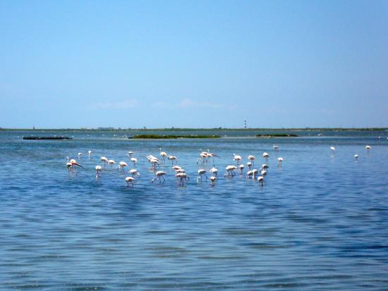 Pont Royal, France: The flamingos of the Camargue