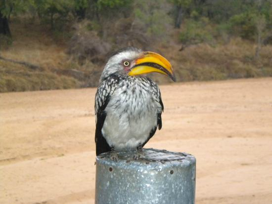 Tamboti Satellite Camp: One of our many visitors