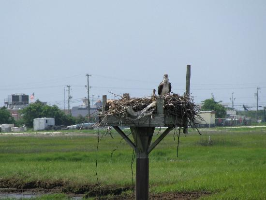 Birding By Boat on the Osprey: Osprey Nest