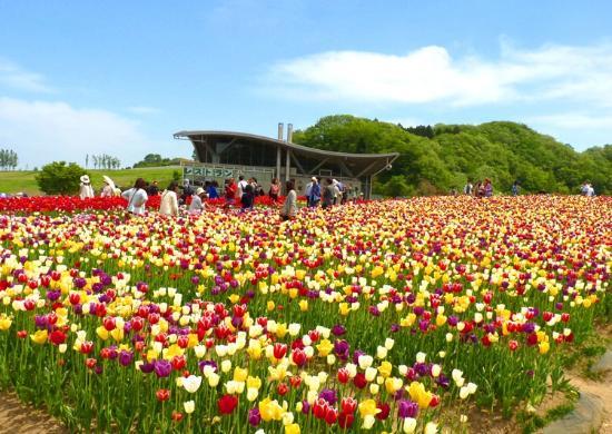 Nagaoka, Giappone: 青い空、広がるチューリップ