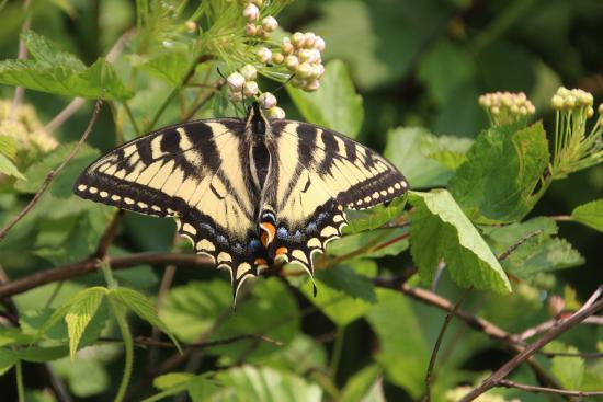 Bob's Cabins on Lake Superior's North Shore: Swallowtale Butterfly