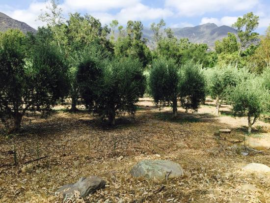 Ojai Olive Oil : Olive tree grove and green & black olives. Green, pink, blue, purple, black olives.