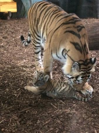 Dyreparken: Tigermor og tigerbarn