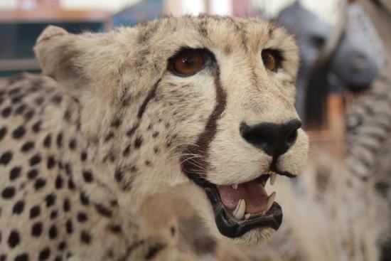 Sandcastle Apartments: roaring cheetah