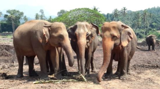 ‪‪Pinnawala‬, سريلانكا: Pinnawala Elephant Orphanage‬