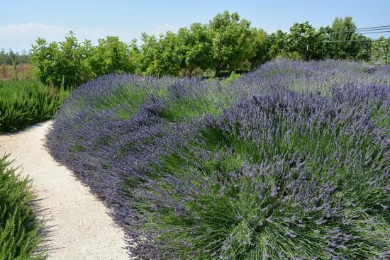 Cyherbia: Lavender