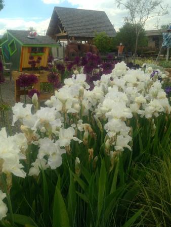 Gardens on Spring Creek: Iris in Children's Garden