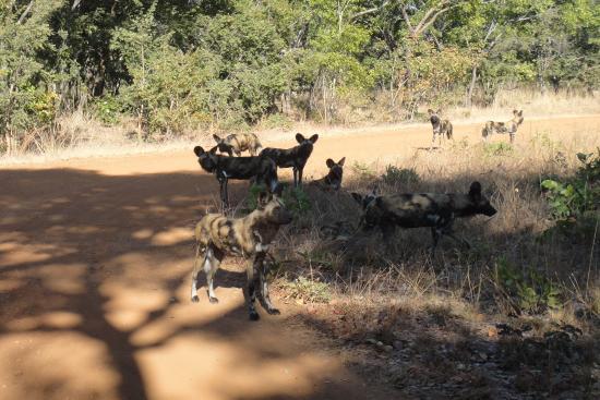 Kafue National Park, Zambia: selten gewordene African Wild Dogs