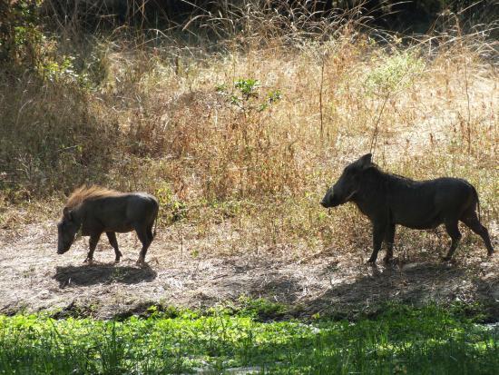 Bilimungwe Bushcamp - The Bushcamp Company: warthogs