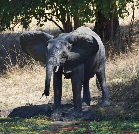 Bilimungwe Bushcamp - The Bushcamp Company: Elephant taking a drink